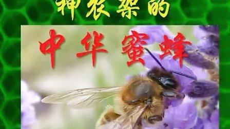 神农架的中华蜜蜂