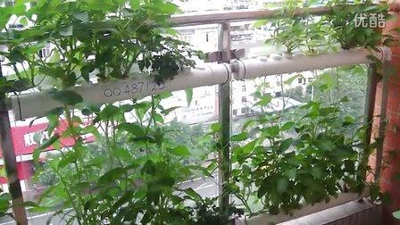 阳台种菜种花-垂直绿化-管道水培种菜-欢迎qq交流