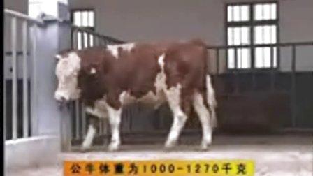 公牛配种价格,养殖技术,肉牛,肉牛视频