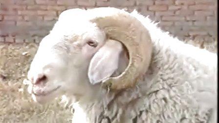 小尾寒羊�B殖技�g小尾寒羊�r格�B殖��l