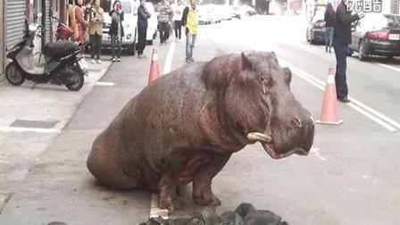 实拍:台湾 河马从货车跌落撞断牙齿 瘫坐路上流眼泪