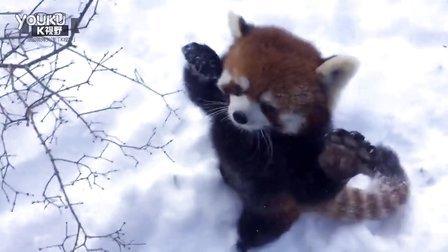 小熊猫在雪地里打滚跑来跑去 萌萌哒