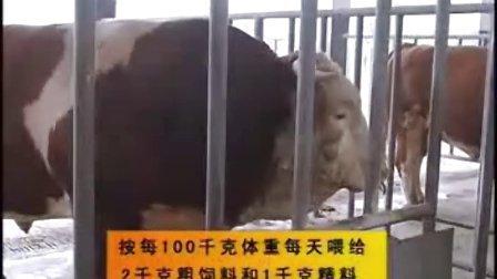 山东养牛场肉牛养殖鲁西黄牛西门塔尔肉牛犊基地视频