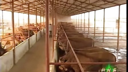 南方养牛适合放养吗肉牛放养成本计算视频