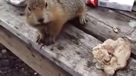 【冯导】松鼠偷我的鸡肉吃