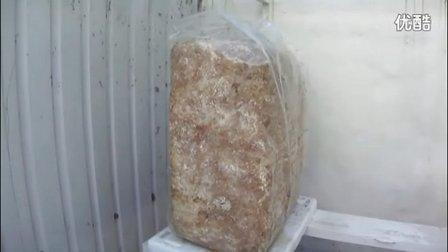 大袋装料平菇种植技�c高清视频食用菌shiyongjun