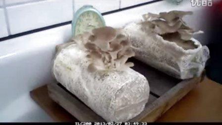 秀珍菇成�L过程�s�r�z影_高清视频食用菌shiyongjun
