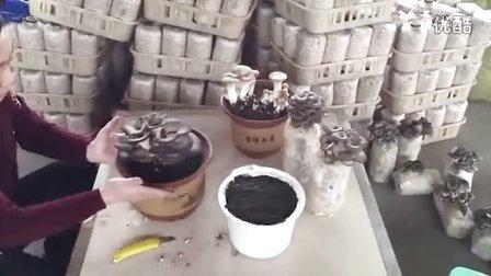 食用菌覆土栽培方��淘宝买成品菌包_高清视频食用菌shiyongjun
