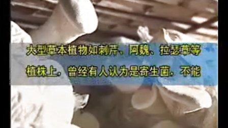 白灵菇的种植方法绿色栽培技术_高清视频食用菌shiyongjun