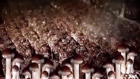 短袋香菇高产种植栽培技术(台湾模式)_高清视频食用菌shiyongjun