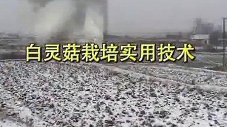 白灵菇的种植方法实用栽培技术_高清视频食用菌shiyongjun