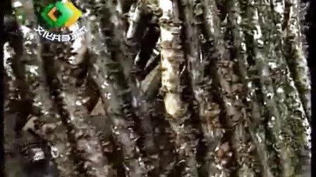 袋装黑木耳种植小径材栽培技术_高清视频食用菌shiyongjun