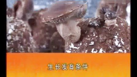 香菇袋料栽培技术要点之桑枝袋料栽培香菇高产种植技术_高清视频食用菌shiyongjun