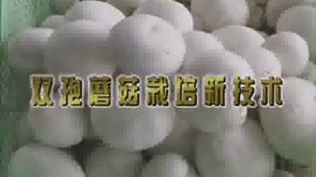 双孢菇的种植条件技术要点之双孢蘑菇栽培新技�c,食用菌shiyongjun