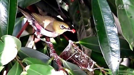 陽臺拍鳥--實拍繡眼鳥孵蛋、育雛紀錄(音樂:愛的協奏曲)