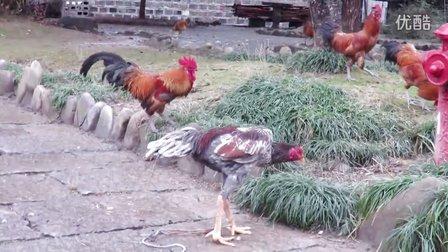 斗鸡vs土鸡(二)     不喜勿喷。