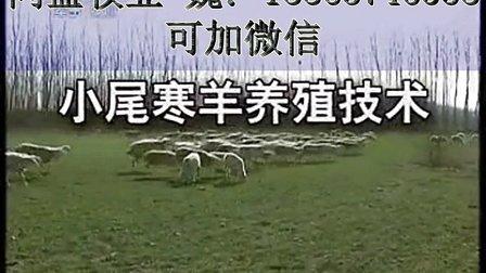 2016年小尾寒羊�r格我�硗献∵@�D神小尾寒羊�B殖技�g��N杜波�d羊�r格��l