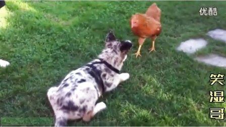【中国鸡挑战日本狗】动物搞笑视频集锦 狗狗搞