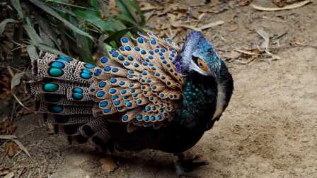 獵奇小片  濒危孔雀雉保护计划