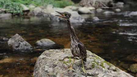四川现世界最神秘鸟类 仅1000只在省内属首次发现