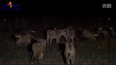 狮群与鬣狗群为食物决一死战