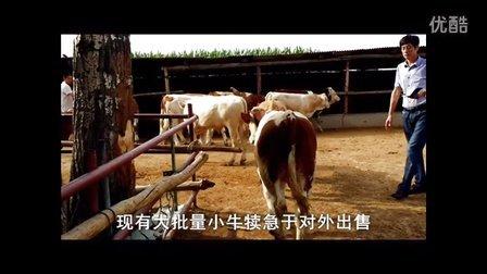 东北黄牛肉牛网。来自大山深处黄牛养殖基地。东北最大黄牛肉牛改良牛交易市场、西门塔尔肉牛养殖技术视频