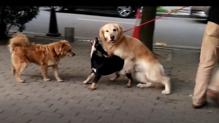 爆笑:两只狗狗交配,另一只狗狗在旁观看