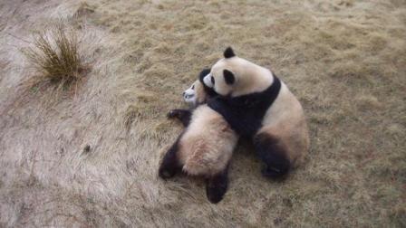 成年大熊猫自然交配! 非常罕见