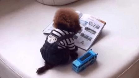 搞笑动物: 汪星人泰迪狗假装看书, 假正经的姿势