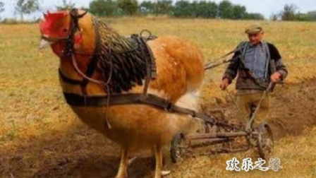 【公鸡耕地 你见过没 笑尿】搞笑视频 笑死人不