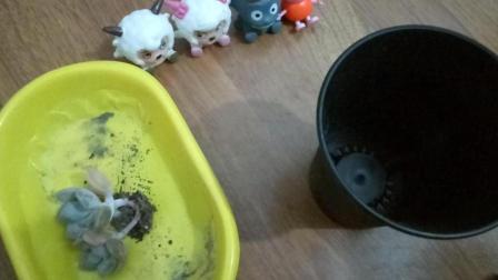 小猪佩奇喜洋洋小伙养多种多肉植物多肉种植教程视频
