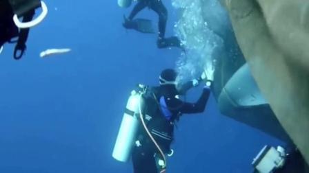 印尼鲸鲨意外被困渔网 潜水员奋力相救