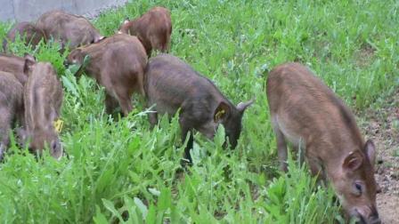野猪养殖技术 特种野猪养殖技术 特种野猪营养价值 野猪猪舍设计建设引种饲养注意事项