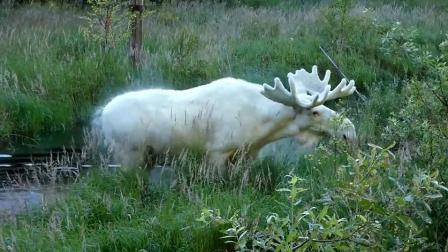 实拍罕见全白色驼鹿 传说见过的人都有好运