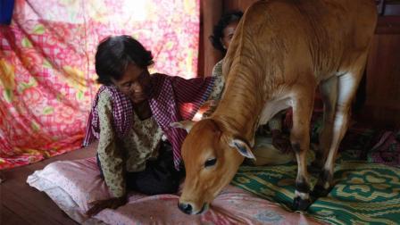 柬埔寨寡妇与牛结婚, 吃饭睡觉都在一起, 坚信牛是丈夫转世!