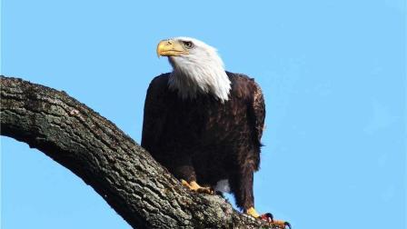 老鹰在海雕面前根本不堪一击, 只能在其身后捡点残羹剩饭吃