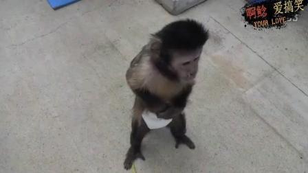 这些猴子太搞笑了, 搞笑猴子视频集锦