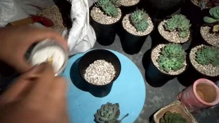 多肉植物景天科石莲花橙梦露种植教程视频