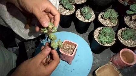 江西景德镇陶瓷花盆种多肉植物多肉小盆栽视频