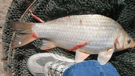 2016黑坑小药使用心得 钓滑口鱼用什么小药 黑坑