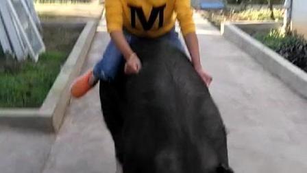 搞笑 美女骑猪, 这小姐姐真的很会玩!