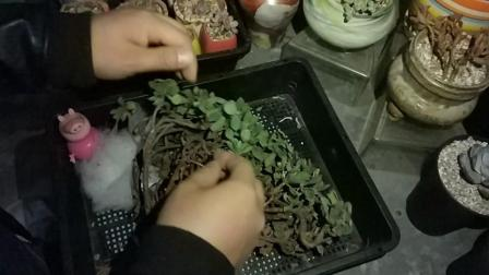 多肉植物种植步骤最好的礼物之手工多肉小盆栽视频