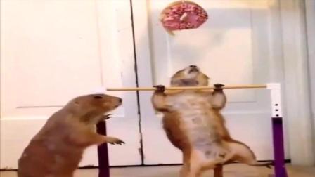 一只老鼠健身的动力, 虽然很搞笑但能引发人的思
