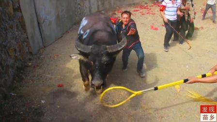 农村养这种高大威猛的水牛来打架,在场20多人都拉不动视频