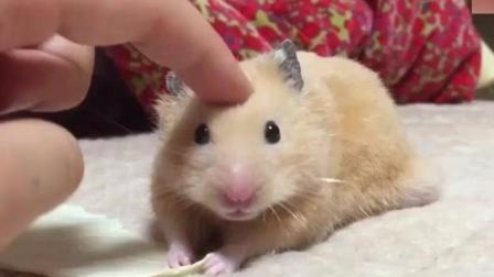 仓鼠你也太小气了, 就摸了你一下, 你就给我在这