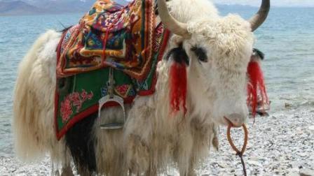 藏族舞蹈《牧羊姑娘 》悠扬的乐曲配上这舞蹈