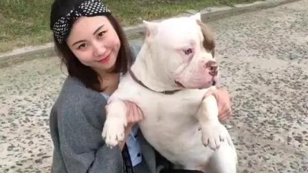 美女爱野兽这么凶猛的恶霸犬也很温顺
