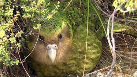 不会飞鹦鹉, 濒临灭绝的珍稀动物, 全球仅余百只!