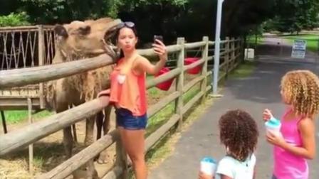 骆驼想跟美女亲近亲近, 下一幕妹子悲剧了! 搞笑