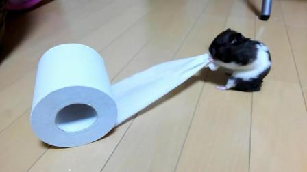 疯狂的仓鼠, 势要把一卷卫生纸塞进嘴里搬走